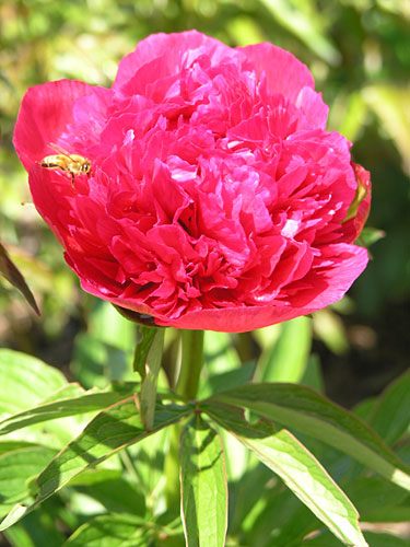 Doctor A Flemming Peonie